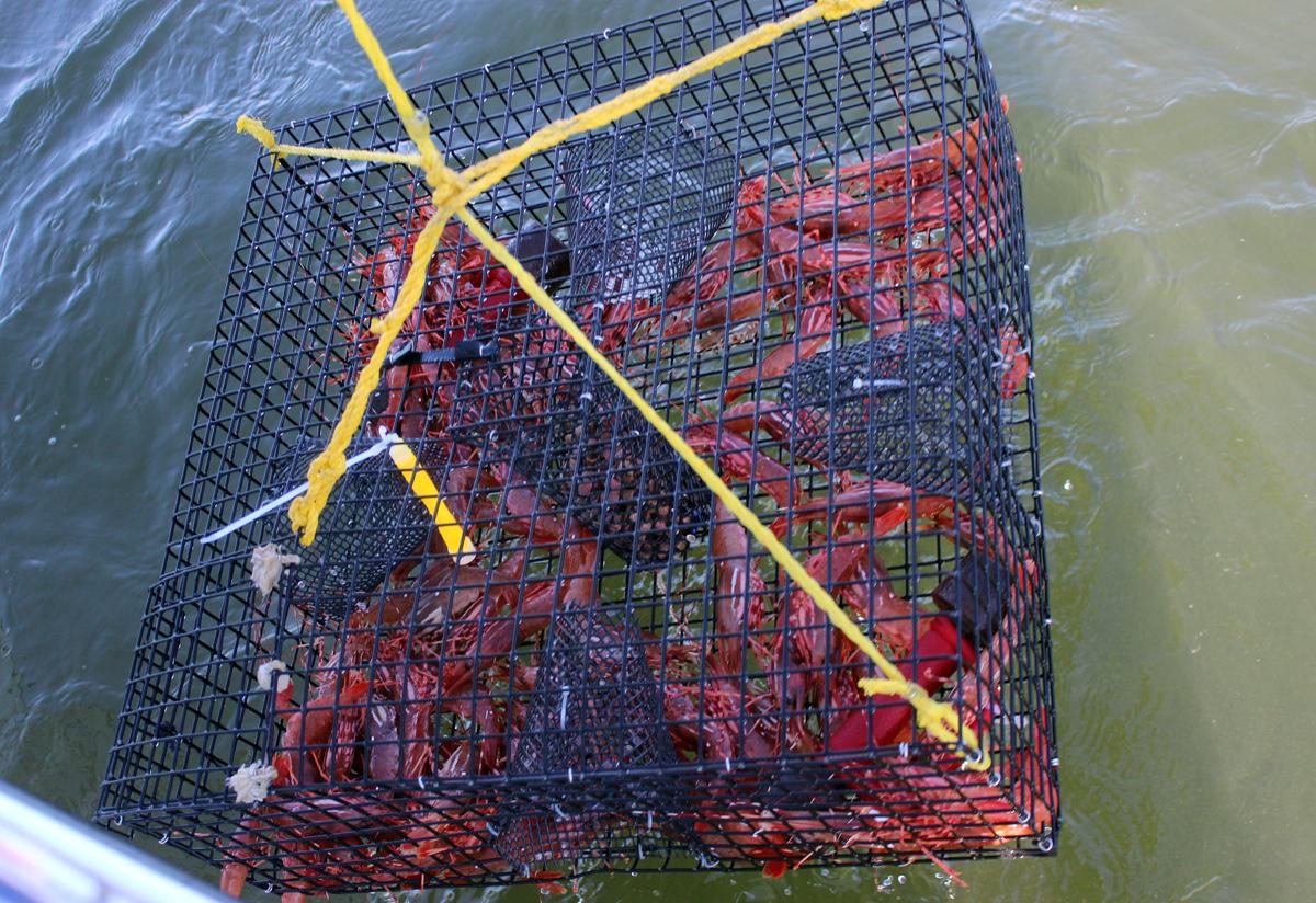 A good haul of Spot Shrimp.