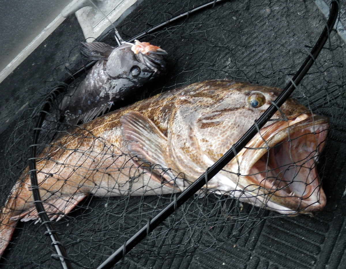 Large Lingcod that gobbled on a hooked Black Rockfish. Double!