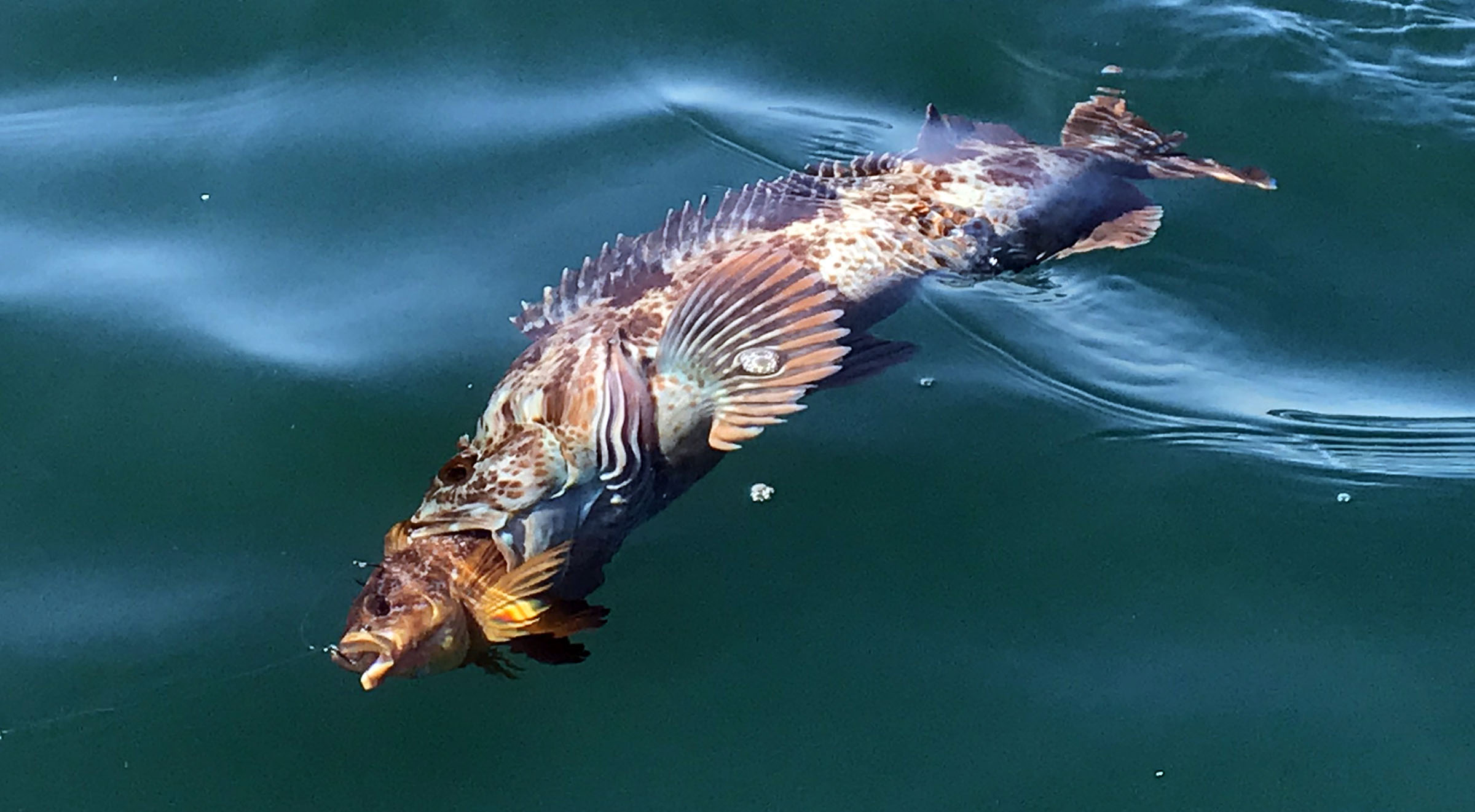 Fishing for Lingcod