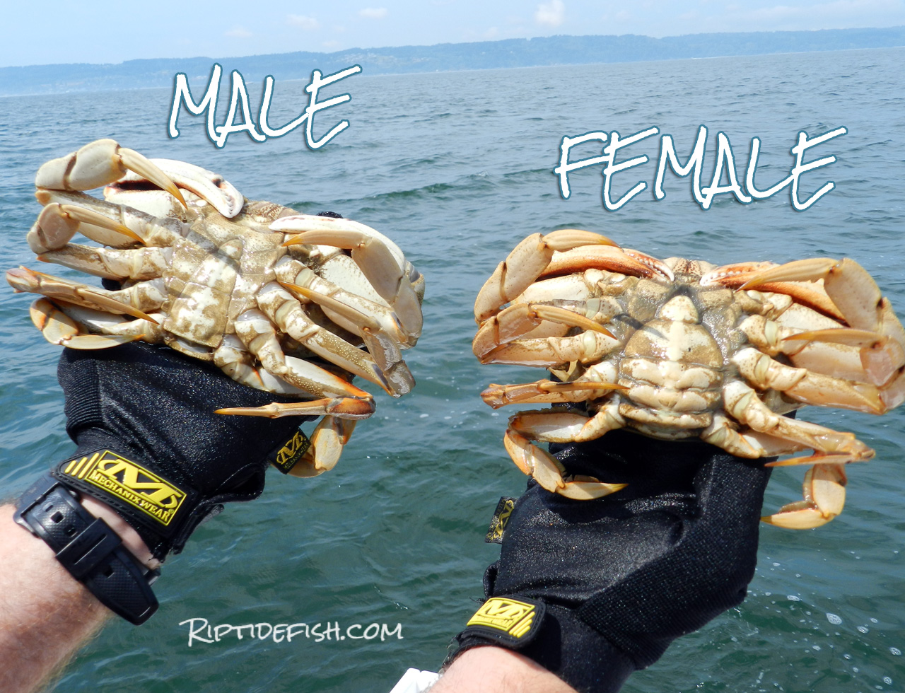 Dungeness Crab Male Female Image
