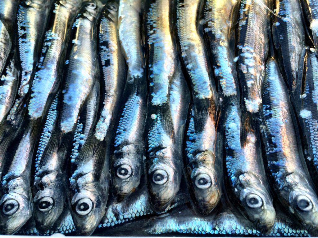 Helpful Tips For Brining Herring