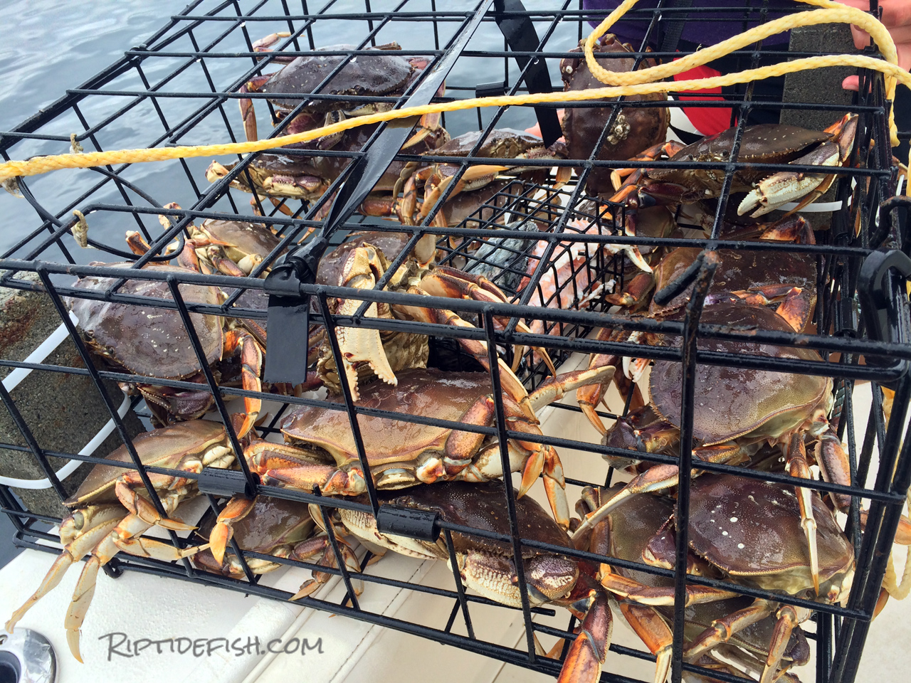 Dungeness Crab Trap
