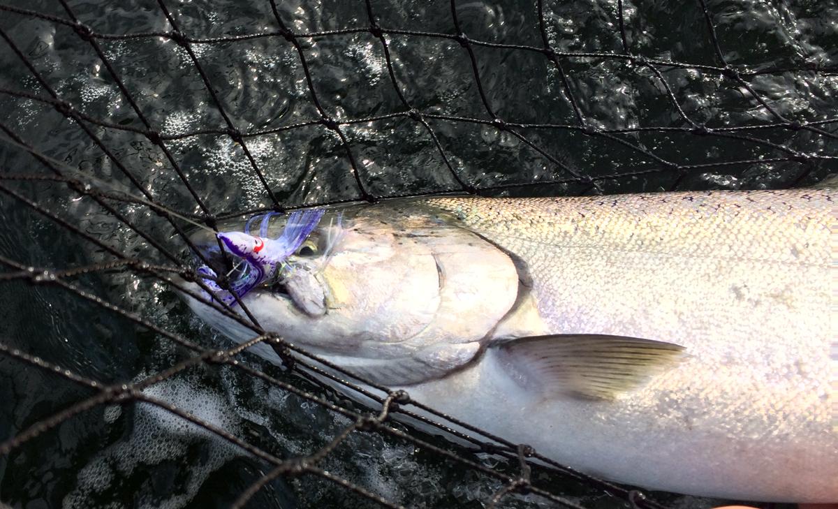 Chinook salmon herring