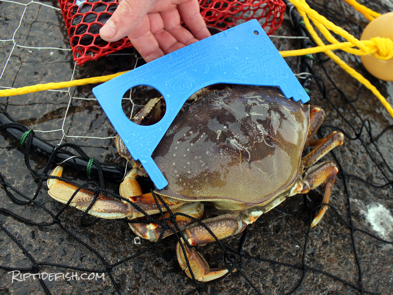Crab measuring device