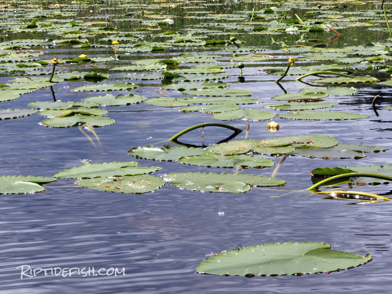 Green Lake Lily Pads