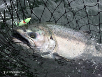 Plastic Lures for Puget Sound Chinook Salmon Fishing