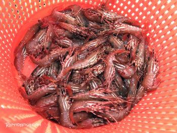Hood Canal Spot Shrimp
