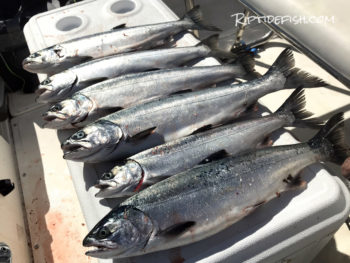 Puget Sound Resident Coho Salmon