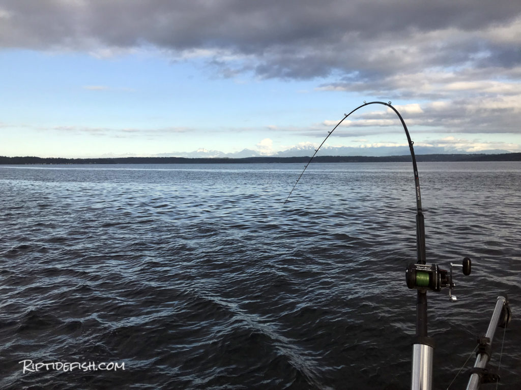 Resident Coho Salmon Fishing Seattle