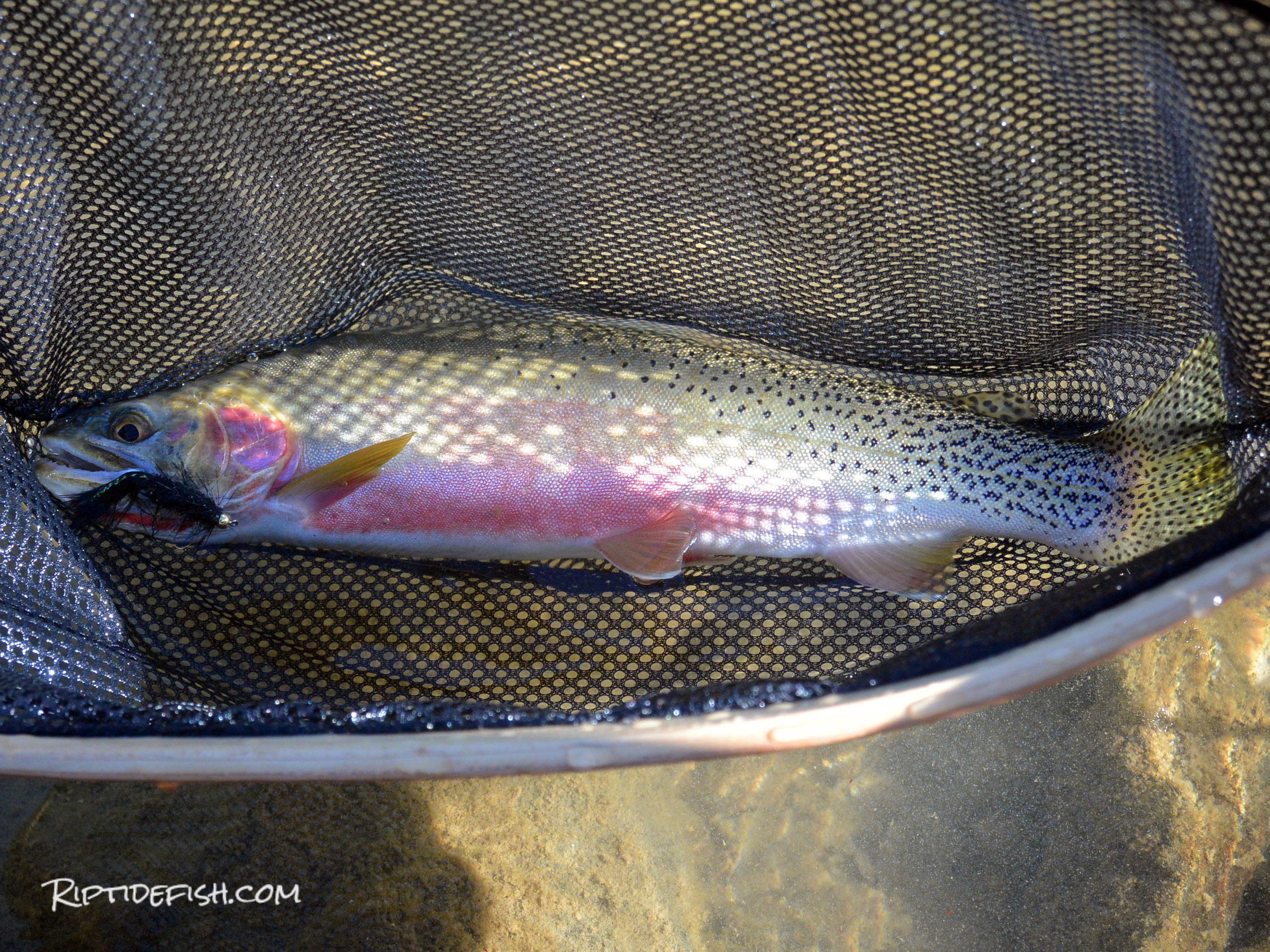 Fly Fishing Alpine Lakes Trout Washington
