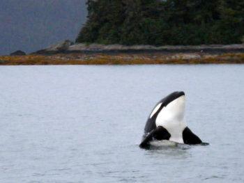 Puget Sound Orca Whale