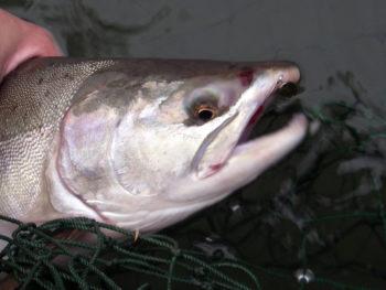 Pink Salmon fishing lures