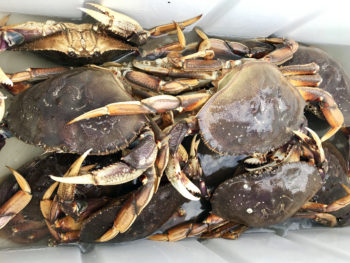 Puget Sound's first winter haul of Dungeness Crab!