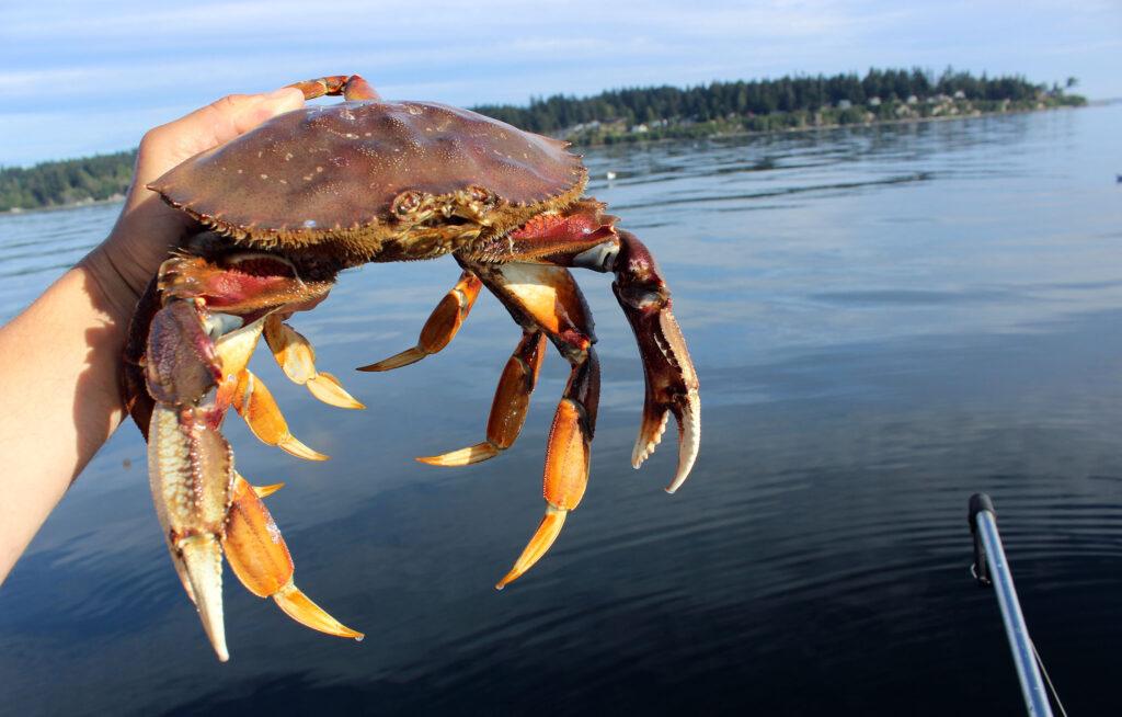 Puget Sound Dungeness Crab August