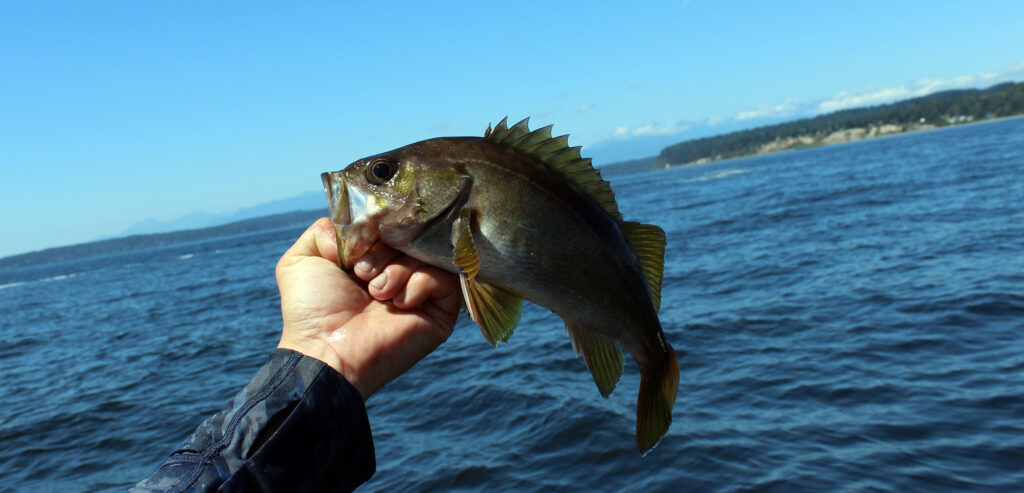 Puget Sound Yellowtail Rockfish