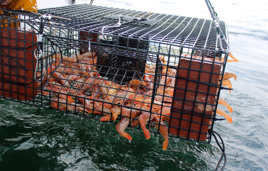 Puget Sound Spot Shrimp