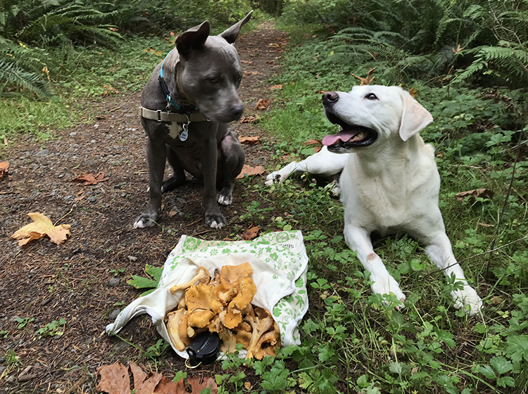 Pacific Northwest Washington Chanterelle Mushroom picking