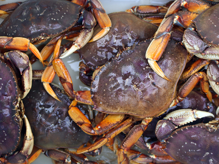 Puget Sound Winter Dungeness Crabbing