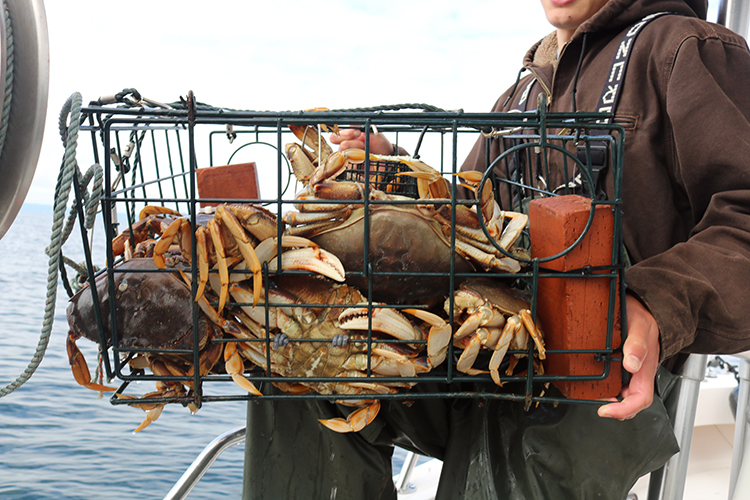 Everett Dungeness Crab Puget Sound