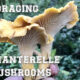 washington chanterelle mushrooms