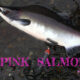 Pink Salmon Humpy Salmon