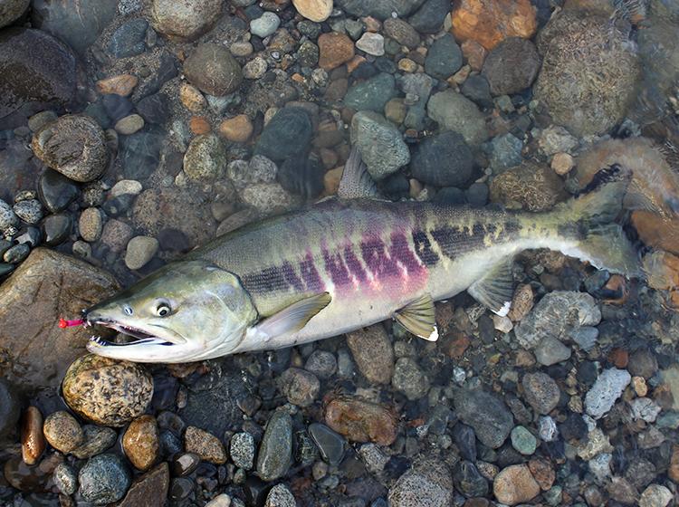 Male Chum Salmon