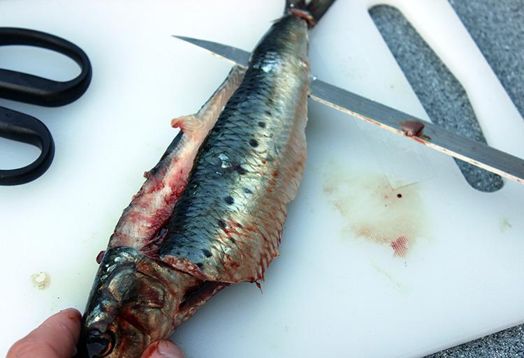 Kwikfish sardine fillet