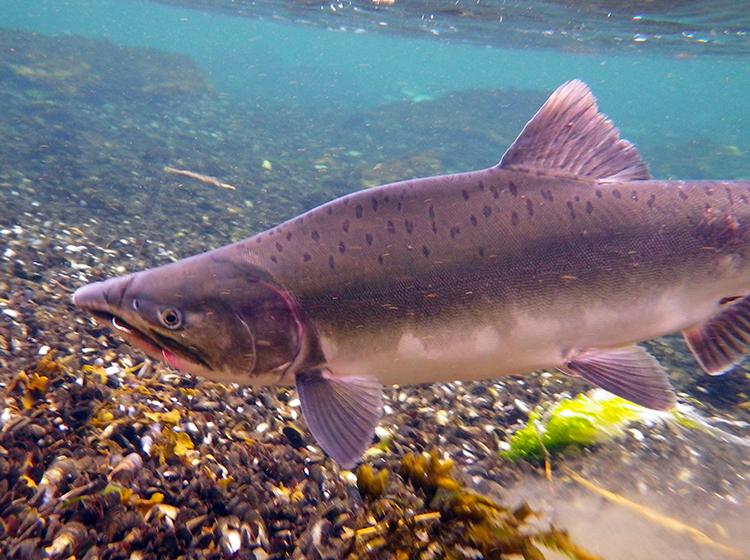 Male Humpy Pink Salmon