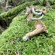 Seattle Chanterelle Mushroom Foraging